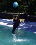 An impressive jump by a sea lion, at the aquarium at Coney Island.